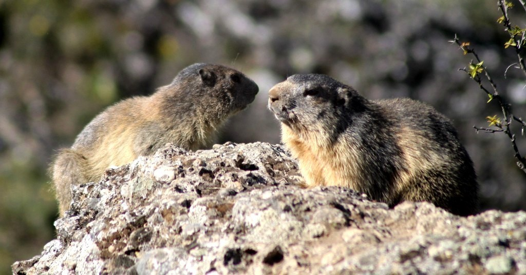 Marmottes avril 2019