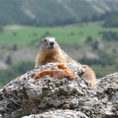 2013 - Comptage des marmottes