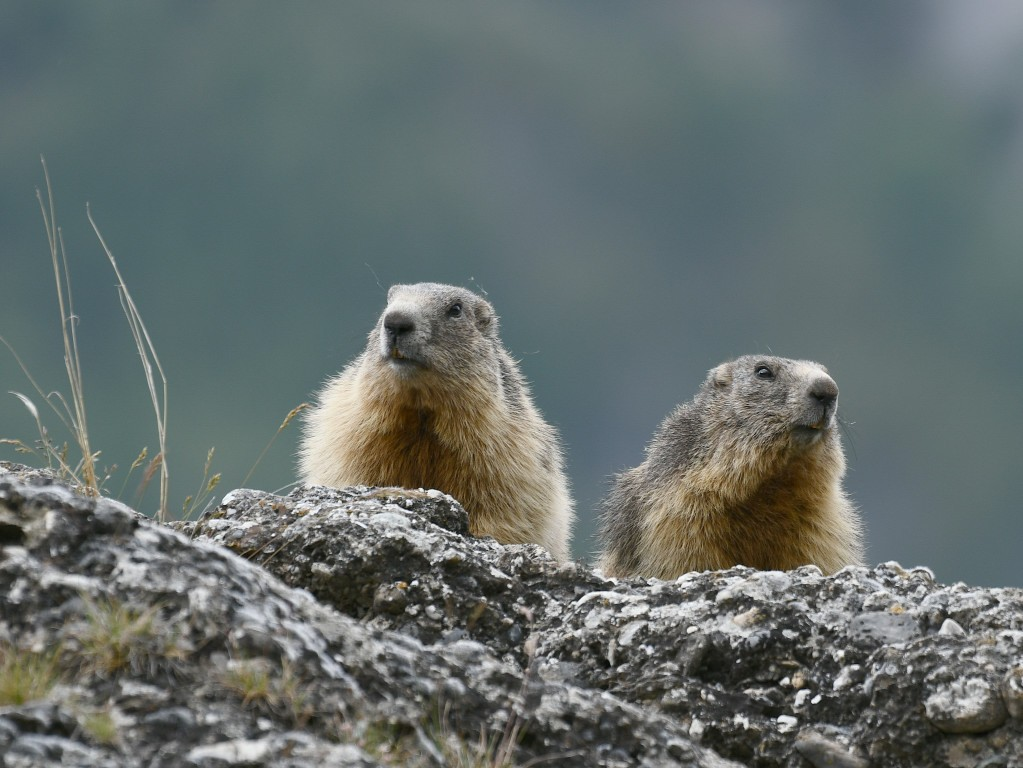 Marmottes photographiées le 12 juin 2020 sur le site d'Eygliers par Christian Millet