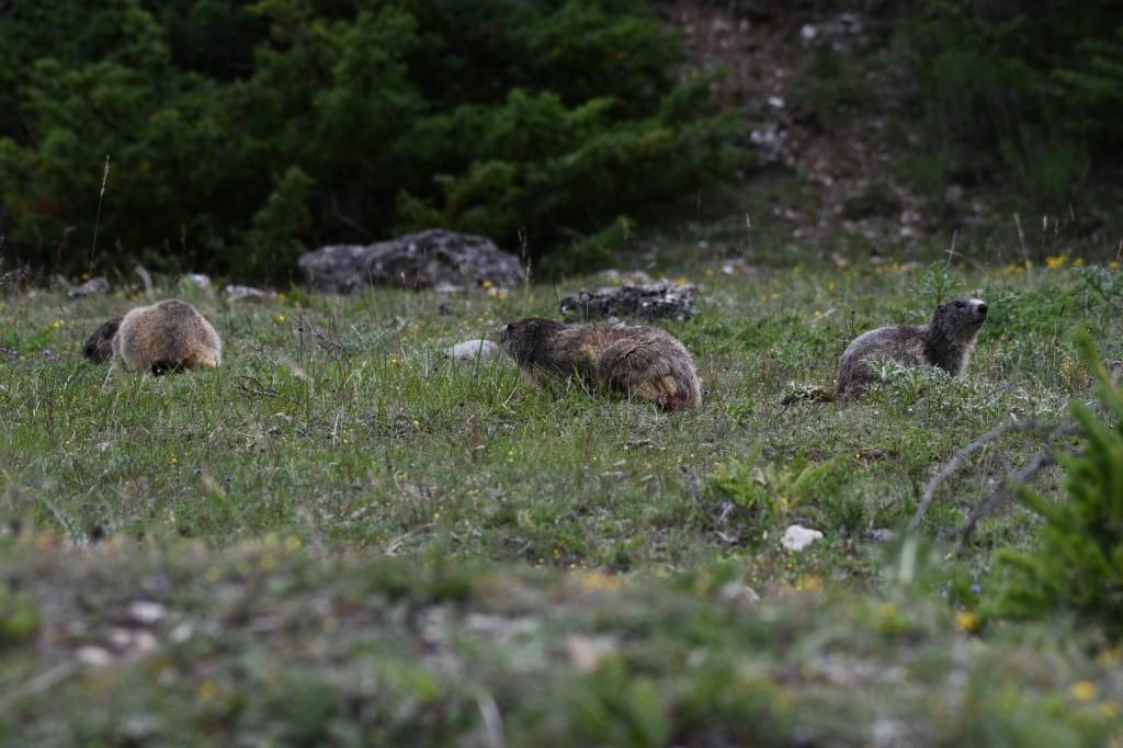 Marmotte photographiée le 12 juin 2020 sur le site d'Eygliers par Christian Millet
