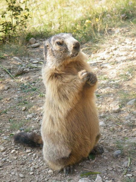 Nos amis les marmottes