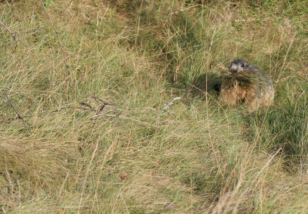 Marmotte qui fait ses récoltes d'herbes sèches.