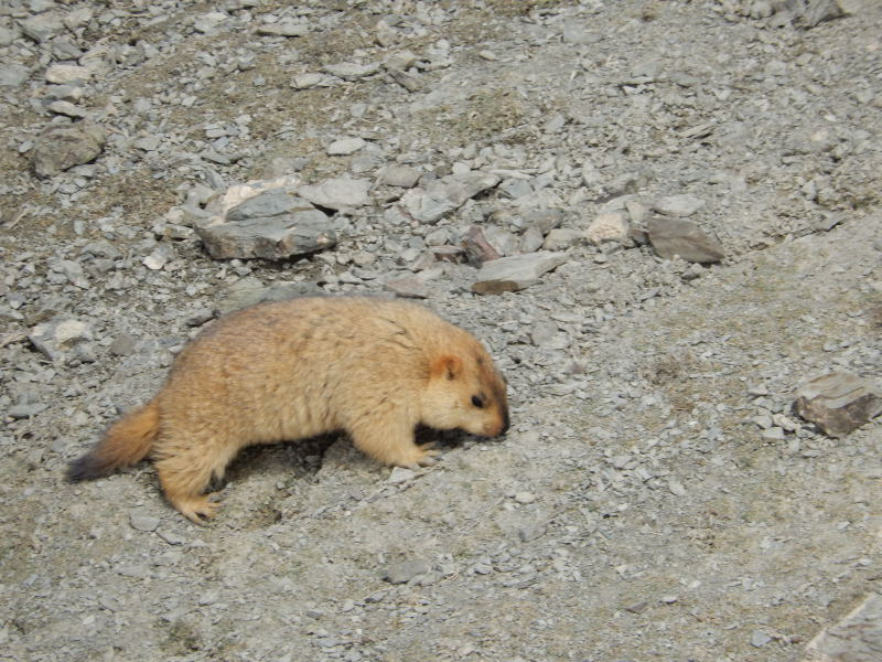Marmotte Ladakh 2018