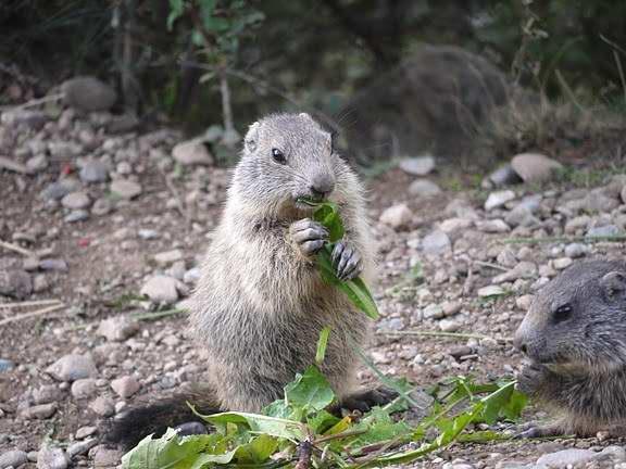 Vrai ou faux coloriage - Coloriage marmotte ...