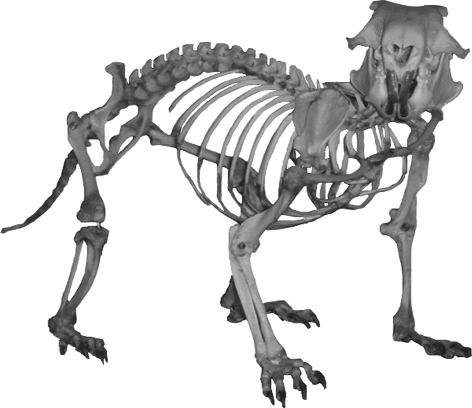 Squelette marmotte